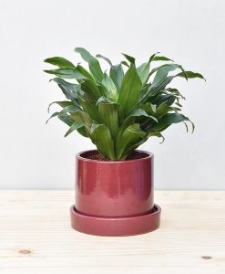Ceramic Cylendrical Pot Maroon with Exotic Draceana Compacta 2