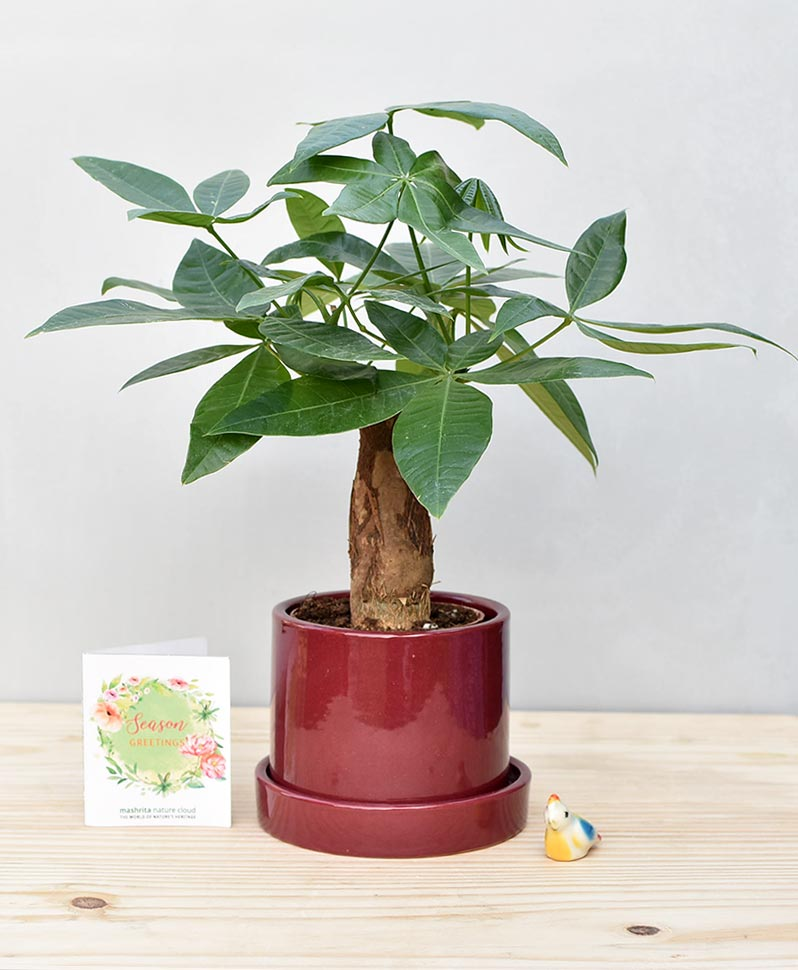 Ceramic Cylendrical Pot Maroon with Exotic Money Tree – Pachira Aquatica