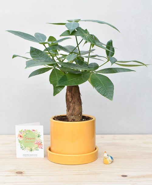 Ceramic Cylendrical Pot Mustard Yellow with Exotic Money Tree – Pachira Aquatica