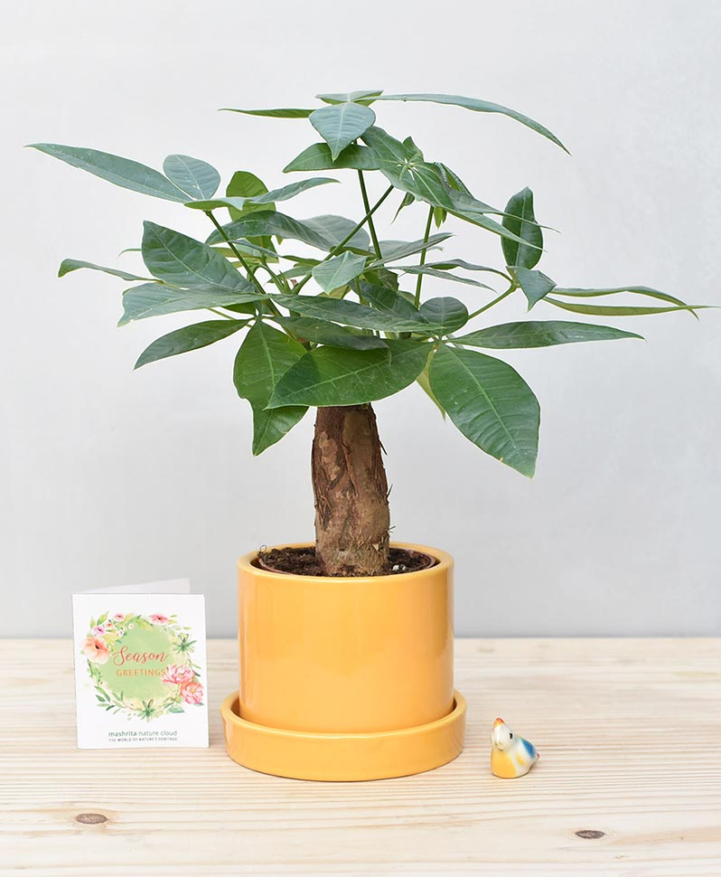 Ceramic Cylindrical Pot Mustard Yellow with Exotic Money Tree – Pachira Aquatica