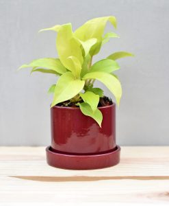 Ceramic 4 inch Cylinder Pot with Plate Maroon
