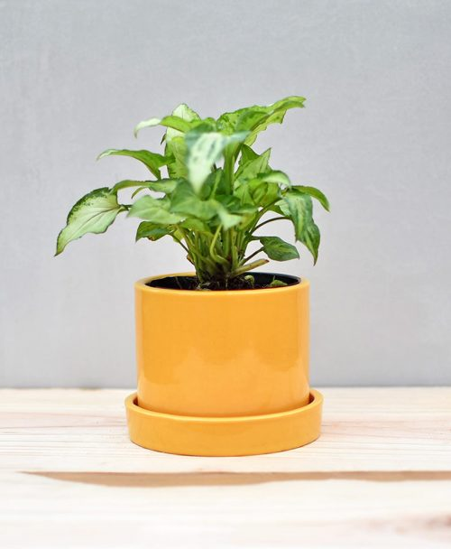 Ceramic 4 inch Cylinder Pot with Plate Mustard Yellow