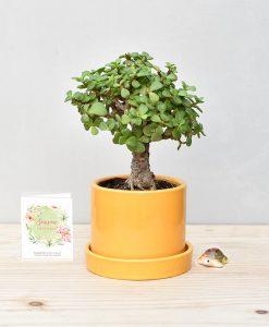 Ceramic Cylindrical Mustard Yellow White with Exotic Jade Plant – Crassula Ovata