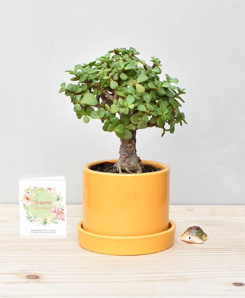 Ceramic Cylindrical Pot Mustard Yellow White with Exotic Jade Plant – Crassula Ovata