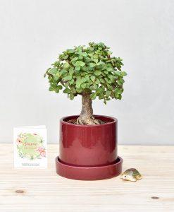Ceramic Cylindrical Pot Maroon with Exotic Jade Plant – Crassula Ovata