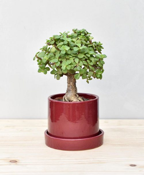 Ceramic Cylindrical Pot Maroon with Exotic Jade Plant – Crassula Ovata 2