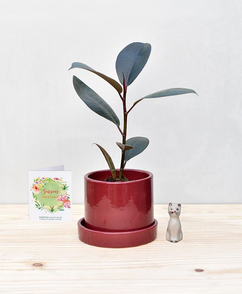 Ceramic Cylindrical Pot Maroon with Rubber Plant