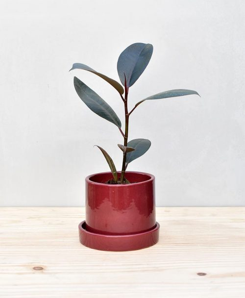 Ceramic Cylindrical Pot Maroon with Rubber Plant 2