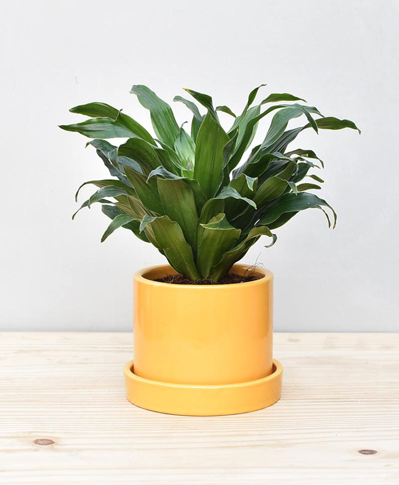 Ceramic Cylindrical Pot Mustard Yellow with Exotic Draceana Compacta