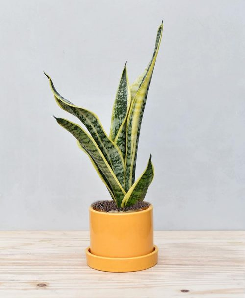 Ceramic Cylindrical Pot Mustard Yellow with Exotic Dwarf Snake Plant 2