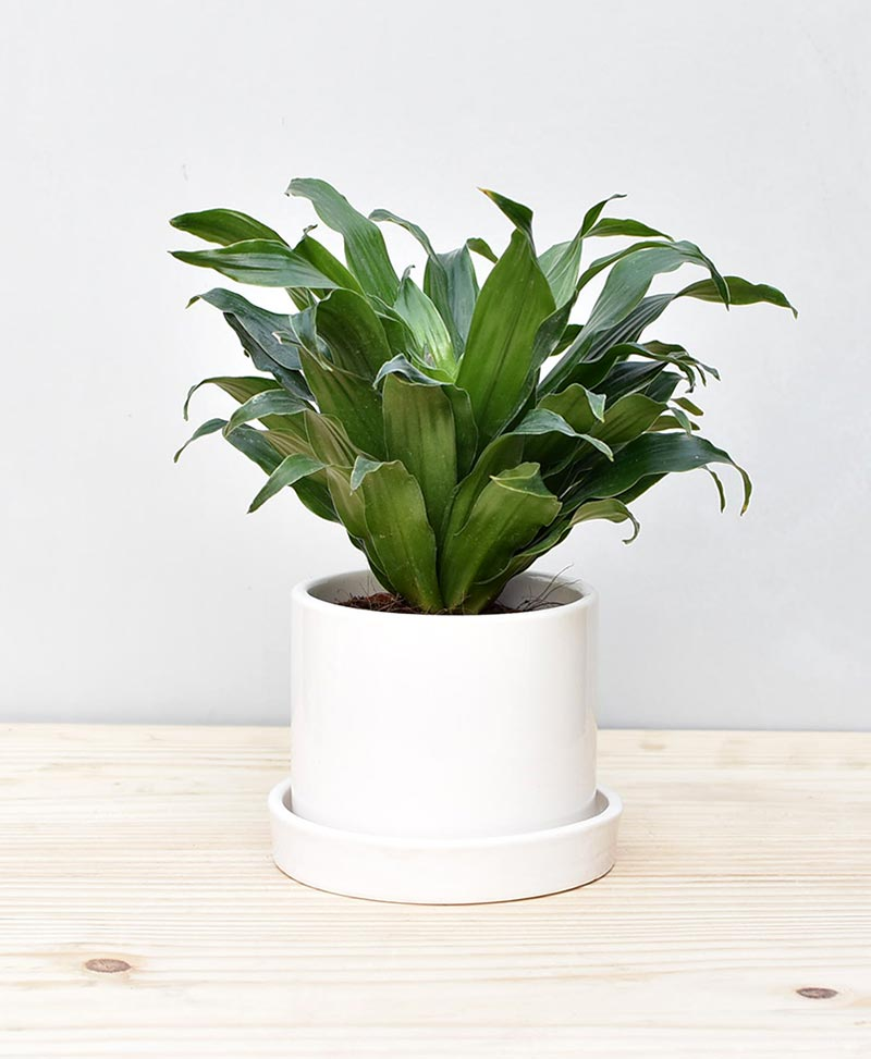 Ceramic Cylindrical Pot White with Exotic Draceana Compacta