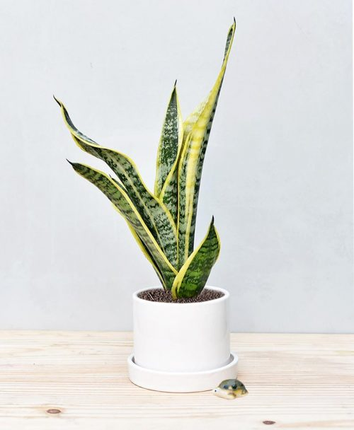 Ceramic Cylindrical Pot White with Exotic Dwarf Snake Plant