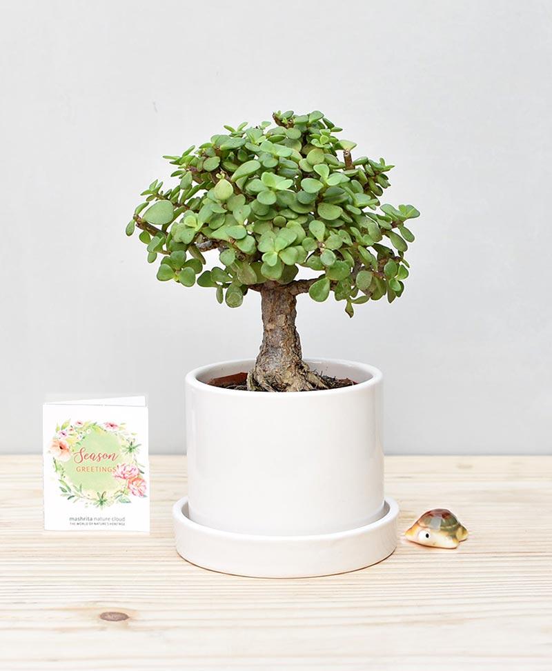 Ceramic Cylindrical Pot White with Exotic Jade Plant – Crassula Ovata