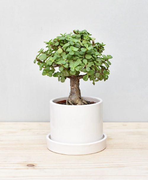 Ceramic Cylindrical Pot White with Exotic Jade Plant – Crassula Ovata 2