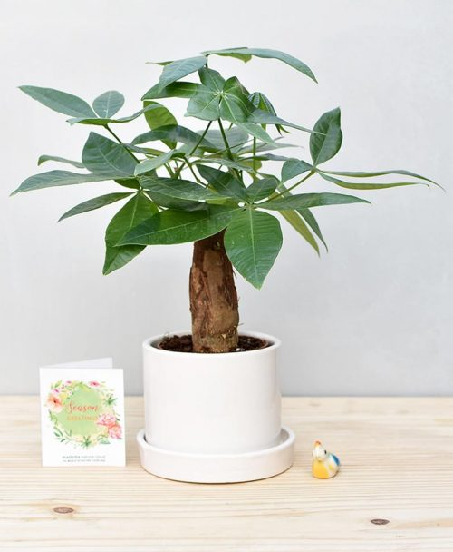 Ceramic Cylindrical Pot White with Exotic Money Tree – Pachira Aquatica