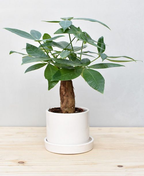 Ceramic Cylindrical Pot White with Exotic Money Tree – Pachira Aquatica 2