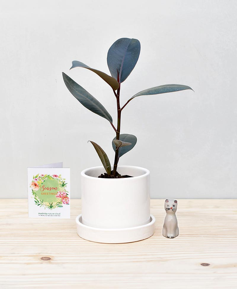 Ceramic Cylindrical Pot White with Rubber Plant