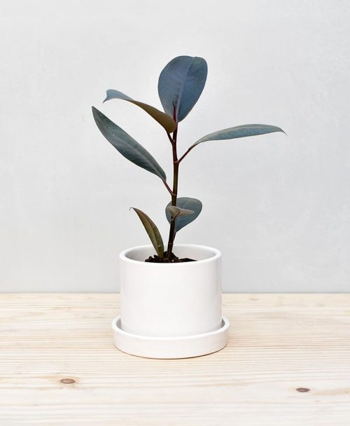 Ceramic Cylindrical Pot White with Rubber Plant 2