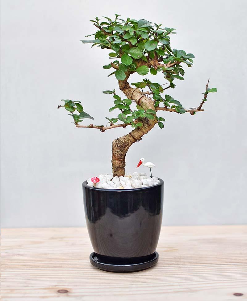 Ceramic Oval Pot Black with Carmona Microphylla Bonsai