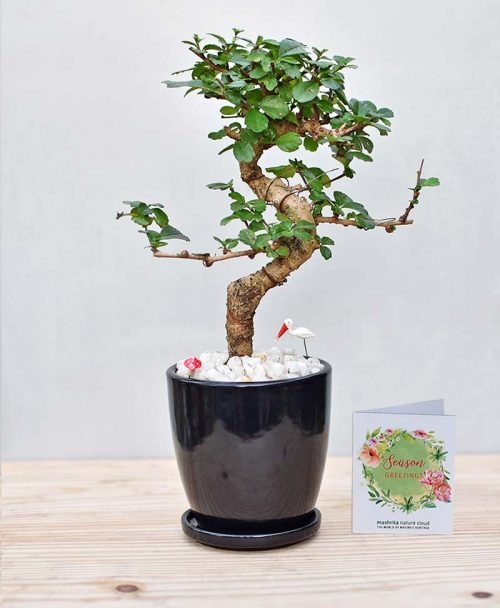 Ceramic Oval Pot Black with Carmona Microphylla Bonsai 2