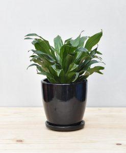 Ceramic Oval Pot Black with Exotic Draceana Compacta 2