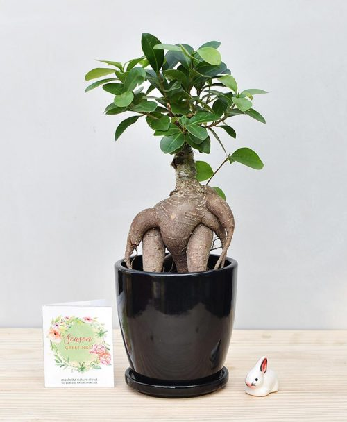 Ceramic Oval Pot Black with Exotic Ficus Ginseng – Ficus Microcarpa
