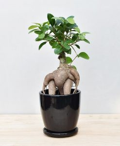 Ceramic Oval Pot Black with Exotic Ficus Ginseng – Ficus Microcarpa 2