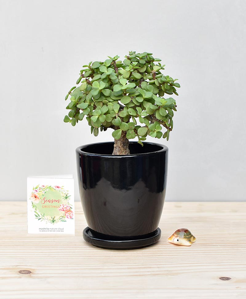 Ceramic Oval Pot Black with Exotic Jade Plant – Crassula Ovata