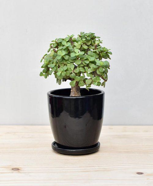 Ceramic Oval Pot Black with Exotic Jade Plant – Crassula Ovata 2
