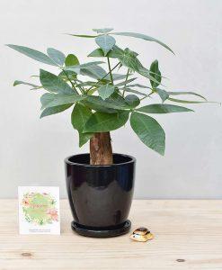 Ceramic Oval Pot Black with Exotic Money Tree – Pachira Aquatica