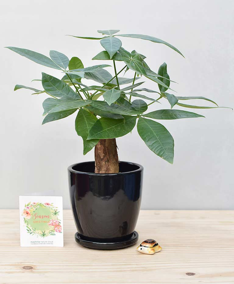 Ceramic Oval Pot Black with Exotic Money Tree – Pachira Aquatica