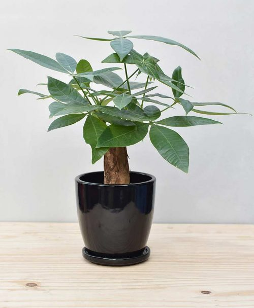 Ceramic Oval Pot Black with Exotic Money Tree – Pachira Aquatica 2