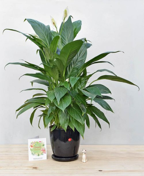 Ceramic Oval Pot Black with Exotic Peace Lily - Spathiphyllum
