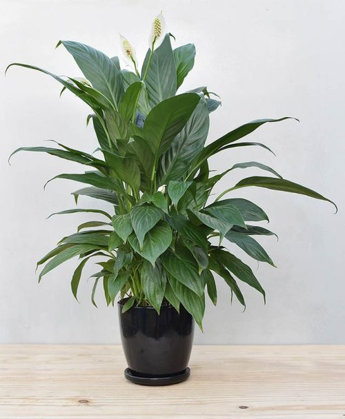 Ceramic Oval Pot Black with Exotic Peace Lily - Spathiphyllum 2