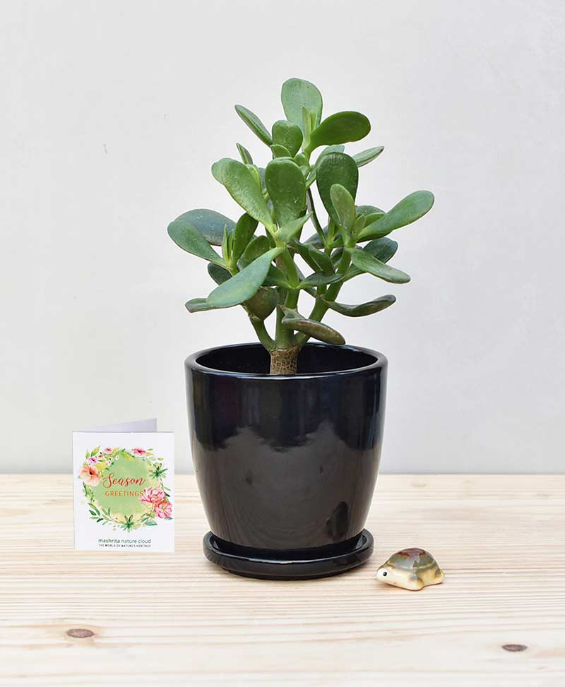 Ceramic Oval Pot Black with Jade Plant Fatty Leaves