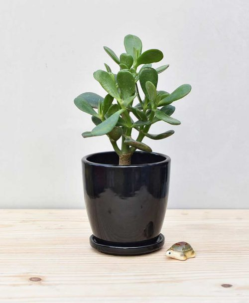 Ceramic Oval Pot Black with Jade Plant Fatty Leaves 2
