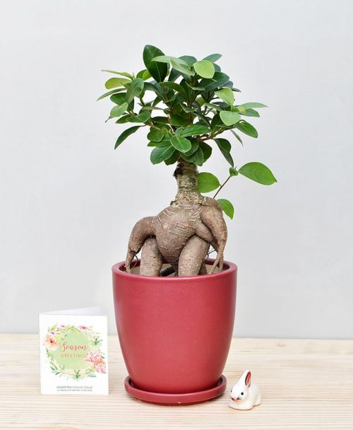 Ceramic Oval Pot Maroon with Exotic Ficus Ginseng – Ficus Microcarpa