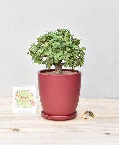 Ceramic Oval Pot Maroon with Exotic Jade Plant – Crassula Ovata