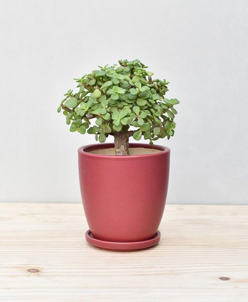 Ceramic Oval Pot Maroon with Exotic Jade Plant – Crassula Ovata 2