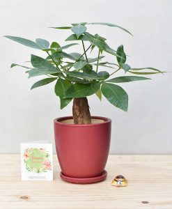 Ceramic Oval Pot Maroon with Exotic Money Tree – Pachira Aquatica
