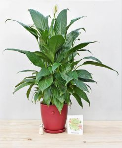 Ceramic Oval Pot Maroon with Exotic Peace Lily - Spathiphyllum