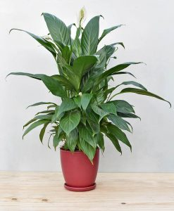 Ceramic Oval Pot Maroon with Exotic Peace Lily - Spathiphyllum 2