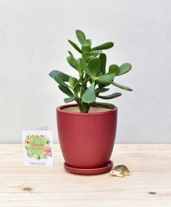 Ceramic Oval Pot Maroon with Jade Plant Fatty Leaves