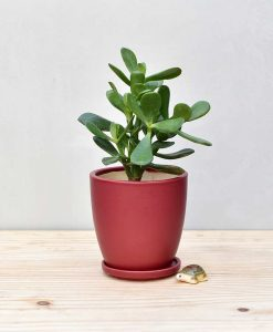 Ceramic Oval Pot Maroon with Jade Plant Fatty Leaves 2
