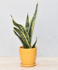 Ceramic Oval Pot Mustard Yellow with Exotic Dwarf Snake Plant 2