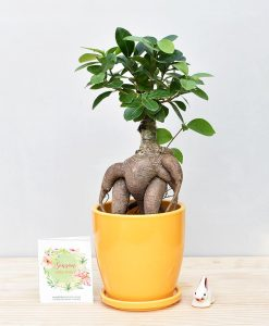 Ceramic Oval Pot Mustard Yellow with Exotic Ficus Ginseng – Ficus Microcarpa
