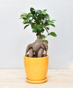 Ceramic Oval Pot Mustard Yellow with Exotic Ficus Ginseng – Ficus Microcarpa 2