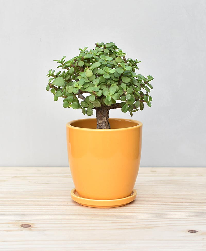 Ceramic Oval Pot Mustard Yellow with Exotic Jade Plant – Crassula Ovata