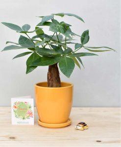 Ceramic Oval Pot Mustard Yellow with Exotic Money Tree – Pachira Aquatica