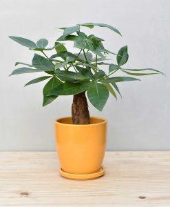 Ceramic Oval Pot Mustard Yellow with Exotic Money Tree – Pachira Aquatica 2